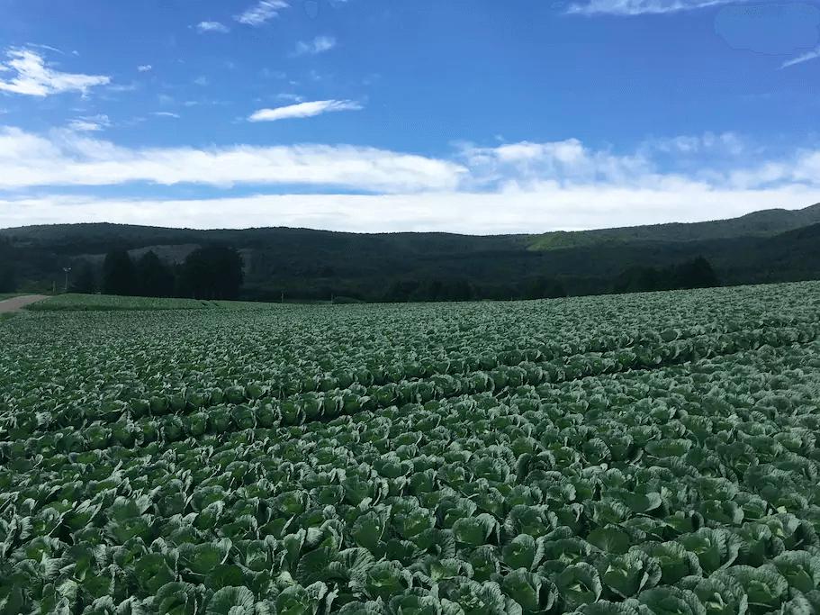 Cabage Fields